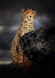 cheetah lion mix - Google Search | wild cats | Pinterest ...