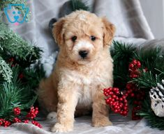 Sophie   Poodle Mix Puppy For Sale   Keystone Puppies Poodle Mix Puppies, Lap Dogs, Design Development, Puppies For Sale, Cute Babies, Labrador Retriever, Cute Animals, Dog Cat, Fluffy Animals