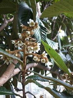 Blossoms of loquat (Eriobotrya japonica). They smell like cinnamon. Earlier than usual. ビワの花。シナモンみたいな匂いがする。ちょっと早い。