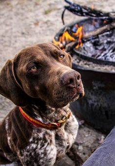 #GSP German Shorthaired Pointer - #Braque Allemand