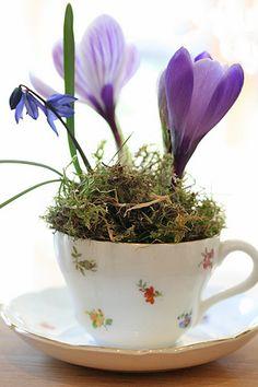 Crocus in a teacup --- springtime loveliness.