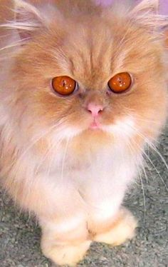 Fluffy Persian Cat Very Different Color Eyes