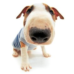 Artlist Collection THE DOG (Bull Terrier) — Have a wonderful day!