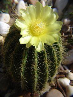 parodia magnifica flower