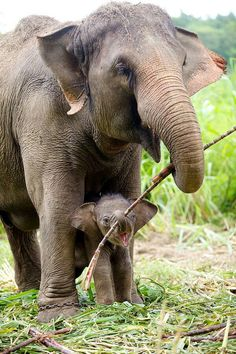 Mother Elephant helping her Baby Calf Carry a stick to play with, when they get home to rest