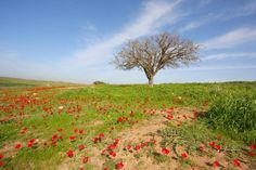Poppy field, Israel.