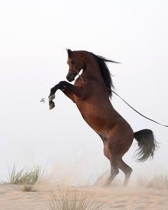 FA EL RASHEEM :: Dubai Arabian Horse Stud