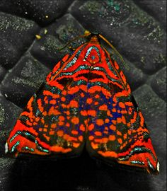 Colourful Metalmark Moth