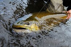 brown trout on the line