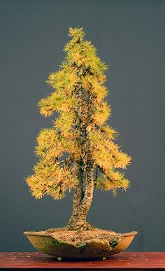European larch (Larix decidua)