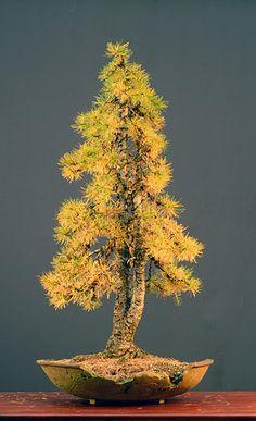 European larch (Larix decidua) bonsaï