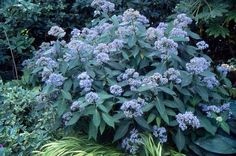 Dichroa febrifuga (Blue Evergreen Hydrangea) - can't find much info on whether FL hardy, humid moist conditions, 3-6'x4-6', e/green foliate, light blue & white flower in spring-early summer, z8a-10b, ACID soil.