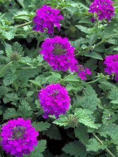 Not hardy winter Verbena Homestead Purple -- Bluestone Perennials Purple Perennials, Purple Plants, Flowers Perennials, Purple Flowers, Planting Flowers, Purple Garden, Flower Gardening, Verbena Plant, Gardens
