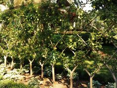Pear Espalier Trees creating a fence