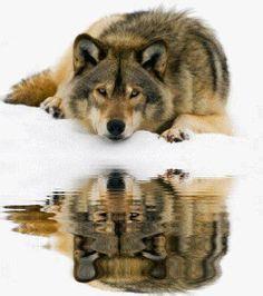 Ein wunderschöner Wolf, der sich im Wasser spiegelt <3