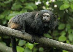 Leontopithecus chrysopygus - Pesquisa Google