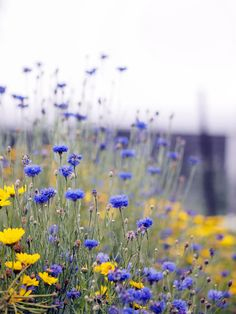 cornflowers | flowers + nature photography