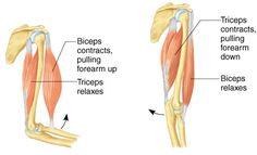 Aula de Anatomia - Sistema Muscular  http://www.auladeanatomia.com/sistemamuscular/gen-musc.htm#grupos