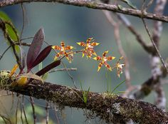 Odontoglossum epidendroides (not armatum) | Flickr - Photo Sharing!