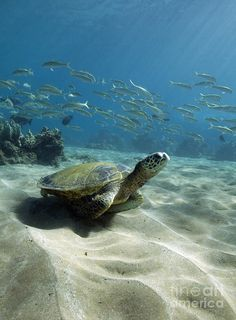 Green sea turtle and fish at the ocean floor Beautiful Creatures, Animals Beautiful, Cute Animals, Animals Sea, Turtle Swimming, Tortoise Turtle, Turtle Time, Wale, Underwater Life