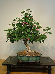 A potted Bonsai