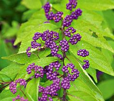 Callicarpa is a genus of about 140 species of shrubs grown primarily for their shiny purple berries rather than for foliage or flowers.