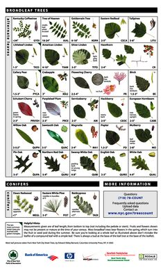 Leaf Key for Tree Identification art design landspacing to plant Trees And Shrubs, Trees To Plant, Garden Trees, Garden Plants, Tree Leaves, Plant Leaves, Tree Leaf Identification, Street Trees, Fruit Trees