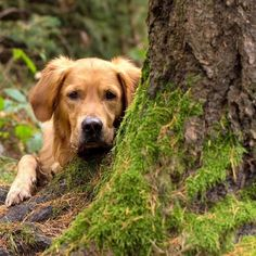 Photo by @goldens_petsagram whispers Good morning guys don't mind me just creeping up on Friday like the ninja I am. -- LOVE A DOG - They are called man's best friend because it is true. No animal is as loyal protective and faithful as a furry family member on four legs that speaks barkenese. We love dogs so should you. -- ATTENTION - @k9ineclub does not own or have rights to the videos/pictures being featured. Please contact respective owners mentioned in the post to use same in any…