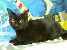 PRINCESS (A1599582) I am a female black Domestic Shorthair.  The shelter staff think I am about 3 years old.  I was found as a stray and I am available for adoption.  Located at Miami-Dade Animal Services, Medley, FL