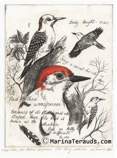 www.marinaterauds.com etchings fnredbelliedwoodpecker images 006-17657.jpg