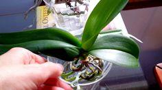 Beginner's tips on full water culture method for orchids. Water Culture Orchids, Orchids In Water, Orchids Garden, Orchid Plants, Water Plants, All Plants, Garden Plants, Indoor Plants, Indoor Gardening