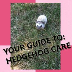 how to take care of a pregnant hedgehog
