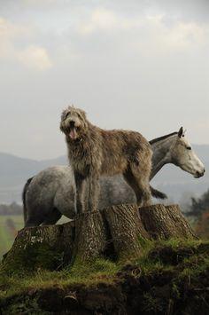 "Irish Wolfhound looks like my Big Ben.He has a look like"" take my picture,take my picture!"""