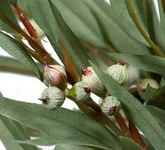 Eucalyptus, Long Leaf Spray with nuts - 2110 Eucalyptus Leaves, Green And Brown, Flowers, Plants, Flora, Royal Icing Flowers, Floral, Plant, Florals