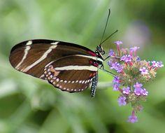 Zebra Longwing Butterfly ~ Florida State Butterfly