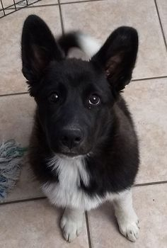5 Month Old Great Pyrenees/(Border Collie/ACD) #cute #dogs #dog #aww #puppy #adorable #bordercollie