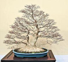 Fantastic example of turtle bonsai style (Korabuki)!!!! This is from the 2O14 88TH KOKUFU TEN BONSAI EXHIBITION