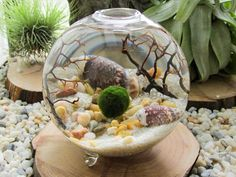 Hey, I found this really awesome Etsy listing at https://www.etsy.com/listing/129824934/marimo-terrarium-by-midnight-blossom