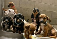 Dachshund mix puppies is an adoptable dachshund searching for a forever family near New River, AZ. Use Petfinder to find adoptable pets in your area. Dachshund Mix Puppies, Dachshund Adoption, Mini Dachshund, Adoptable Dachshund Dog, Pet Finder, New River, Searching, Shelter, Pets