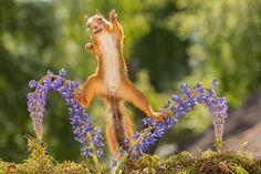 Orava tasapainottelee lupiineilla – metkat kuvat - Hyvä olo - Ilta-Sanomat