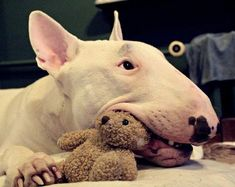 Uplifting So You Want A American Pit Bull Terrier Ideas. Fabulous So You Want A American Pit Bull Terrier Ideas. White Bull Terrier, Mini Bull Terriers, English Bull Terriers, Bull Terrier Dog, I Love Dogs, Cute Dogs, Bully Dog, Best Dog Breeds, Beautiful Dogs