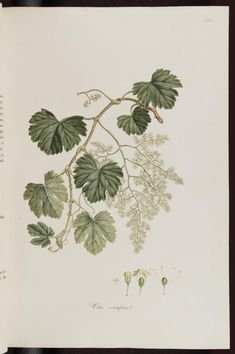 コニャック Vitis vinifera (Cognac, Grape vine), Sibthrop, J., Smith, J.E., Flora Graeca, vol. 3: p. 36, t. 242 (1819)