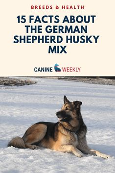 The Siberian Husky and German Shepherd are both great dog breeds. Here are 15 essential facts about the German Shepherd Husky Mix (Gerberian Shepsky). German Shepherd Facts, German Shepherd Pictures, German Shepherd Puppies, German Shepherds, Top Dog Breeds, Large Dog Breeds, German Husky, German Shepard Husky Mix, Husky Shepherd Mix
