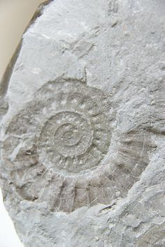 fossils found locally--Garden of the Gods, Red Rocks Open Space, and Pulpit Rock have many different kinds