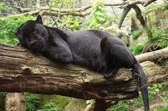 Black Jaguar or Black panther