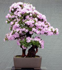 JPB:Bonsai Collection 10 | azalea bonsai exhibit