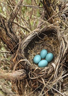 look just like robin's eggs
