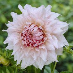 Dahlia Flower, Shiloh, Flower Farm, Cut Flowers, Farm Life, Flora, Home And Garden, Rose, Plants