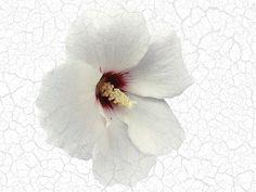 Rosa de Siria blanca * 무궁화