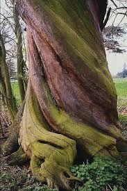 twisted gum bark tree